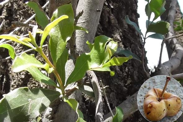 интересное дерево тамботи
