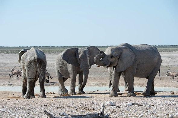 тетушки слонихи шепчутся