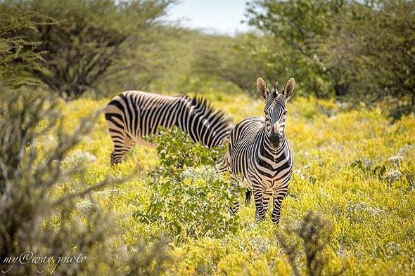 мечтаете увидеть зебру хартмана