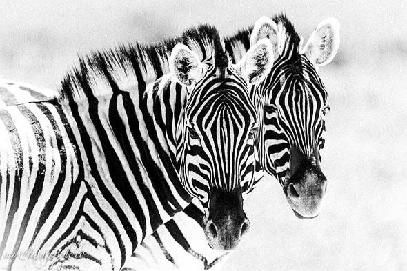 зебра мало похожа на лошадь больше на осла