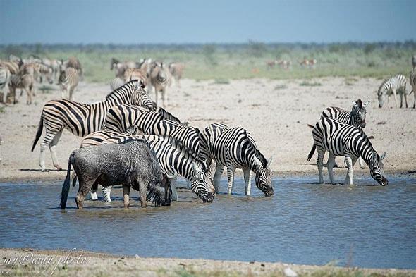 дикие лащади зебры равнин