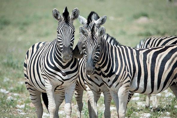 возможность увидеть мир зебр воочию
