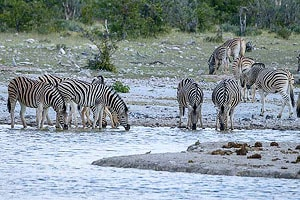 зебры у водопоя