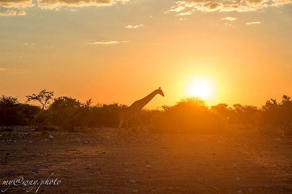 жираф на фоне закатного неба
