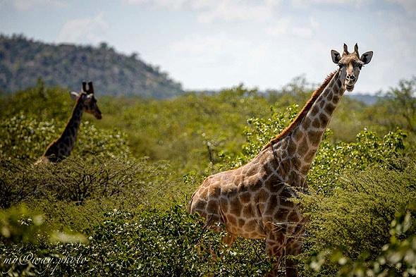 жираф останавливается почти рядом