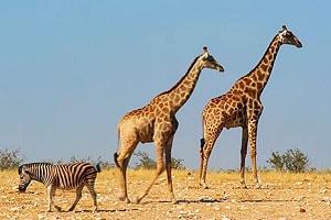 жирафы из западной части парка