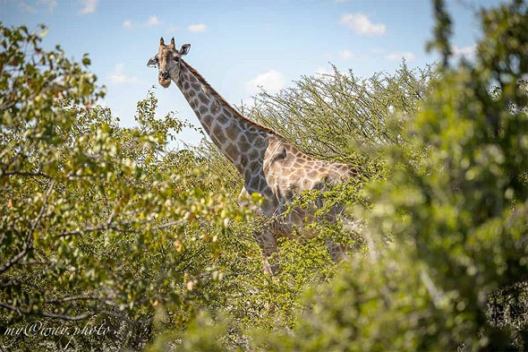 эти побеги нравятся жирафам