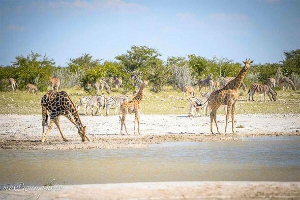 жирафы и зебры чудо в полоску