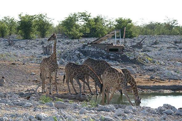 похожие на подъемные краны жирафы