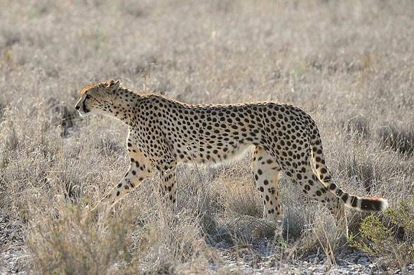 восхитительные животные саванны гепарды