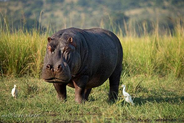 рекой чобе в ботсване прежнему правят бегемоты