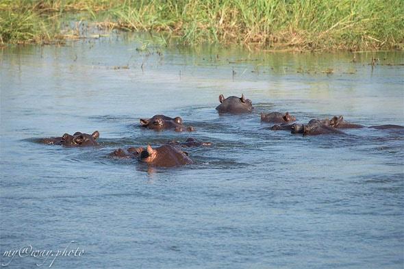 регион замбези бегемоты в реке