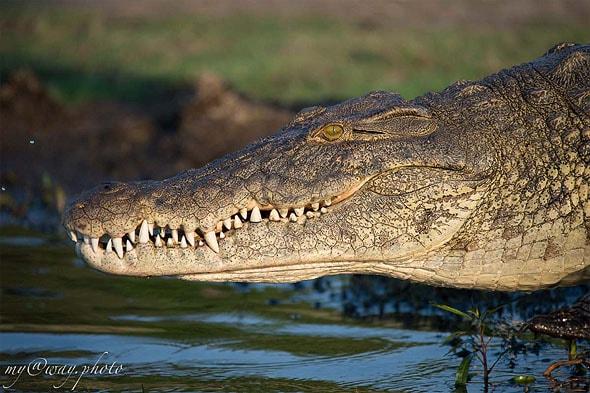 на меня немигающе уставился крокодил из ботсваны