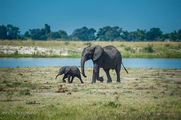 ботсванские слоны нам показались мельче
