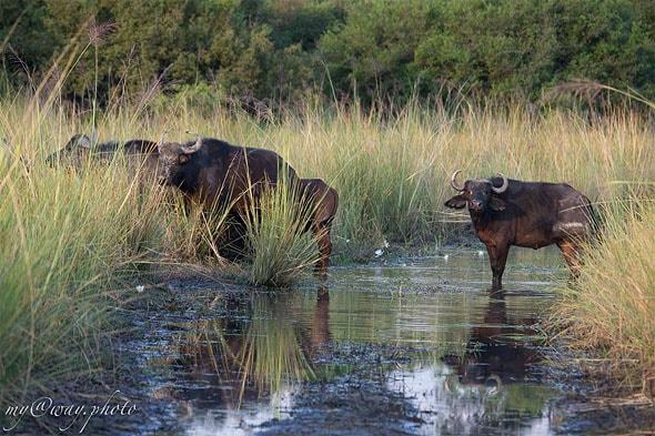 буйволы переходят болотину по узкой тропинке