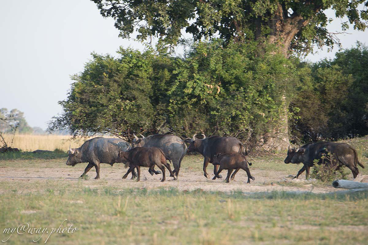 буйволы стояли в тени деревьев