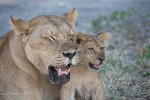 дикая ботсвана животные львы