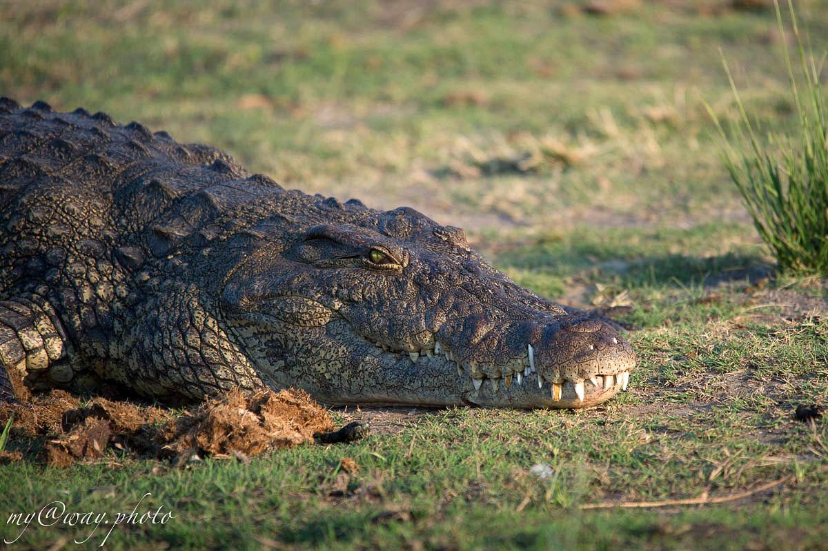 крокодил красивая рептилия и древнее существо