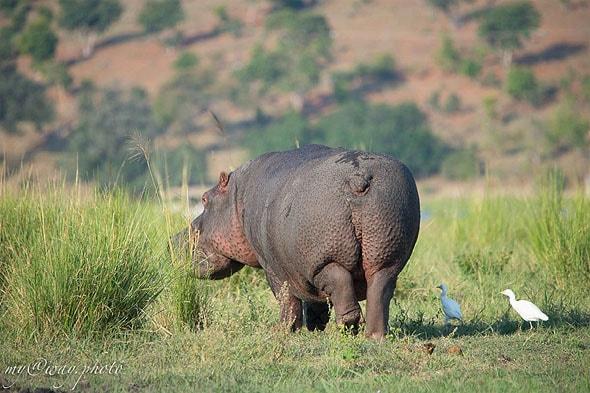 громоздкие бегемоты обладают невероятной грацией