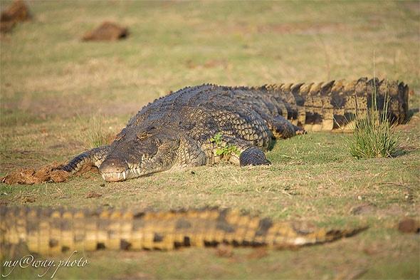 крокодилы на берегу ботсванского национального парка