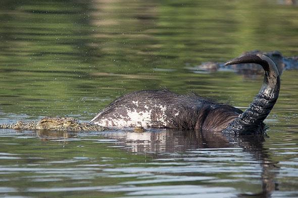 крокодилы воюют с головой буйвола