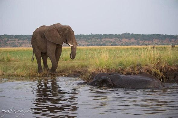 ботсвана купание слонов