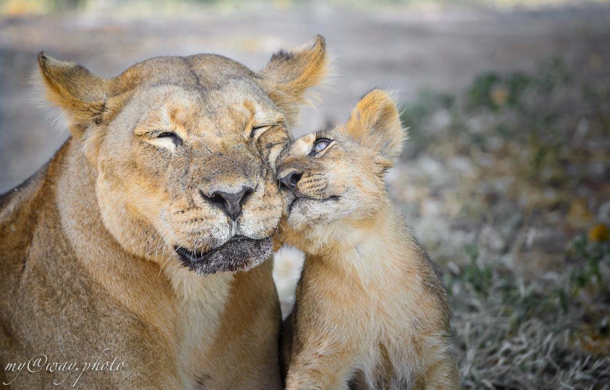 нежные объятья львенка с матерью национальный парк чобе