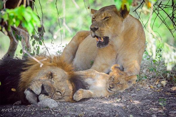 ботсвана львы с потомством в кустах