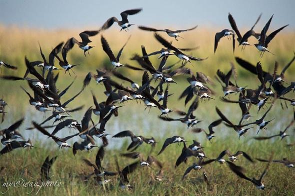 национальный парк чобе безумное количество водных птиц
