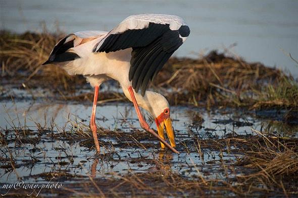 аист на реке чобе ботсвана
