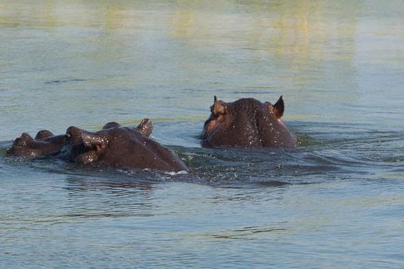 бегемоты на реке окаванго