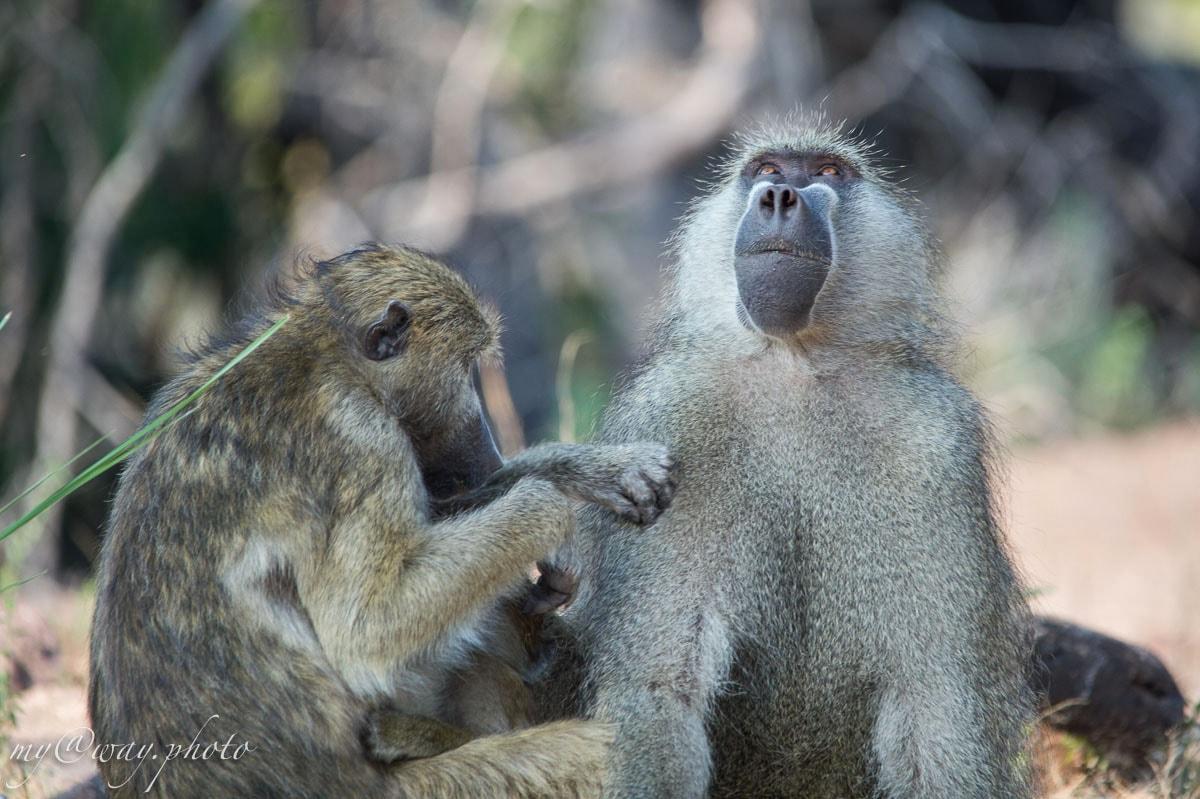обезьяны ботсвана животные