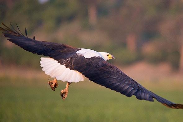 с белой головой африканский орел рыболов