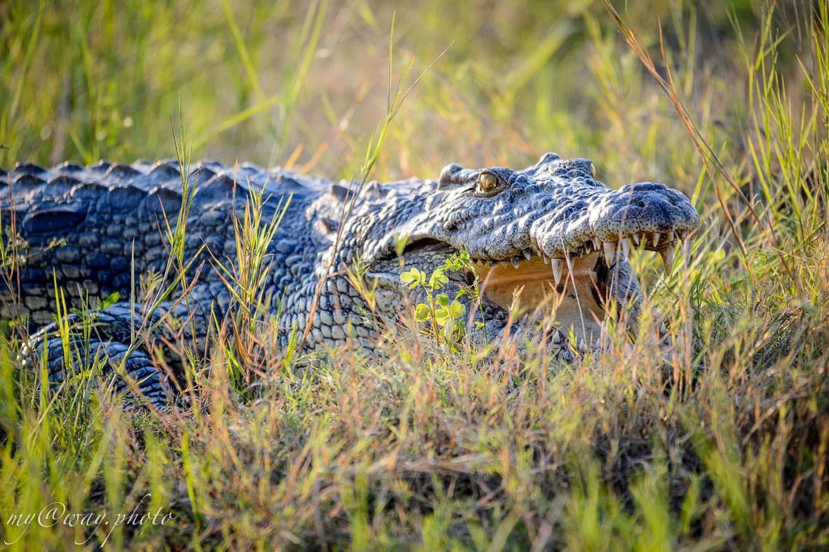 в жуткой пасти крокодила отсутствует язык