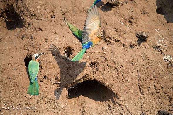 национальный парк чобе птицы ботсваны