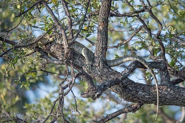 здоровенная ящерица на ветке дерева