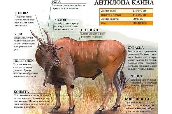 величественный эланд антилопа канна