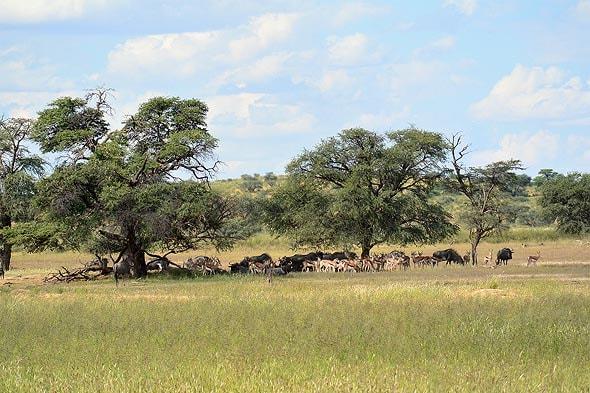 антилопы парка кгалагади