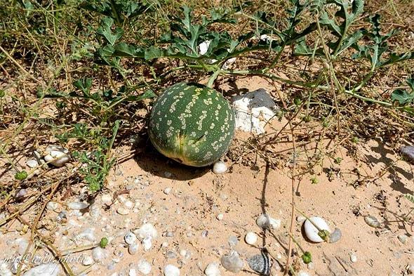 арбуз тсамма резервный источник воды в пустыне