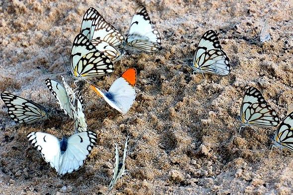 легионы бабочек белых пионеров