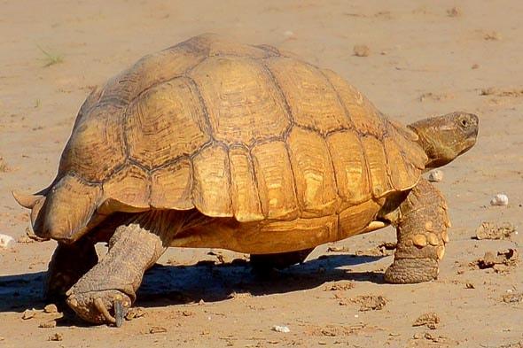 черепаха в трансграничныом парке кгалагади