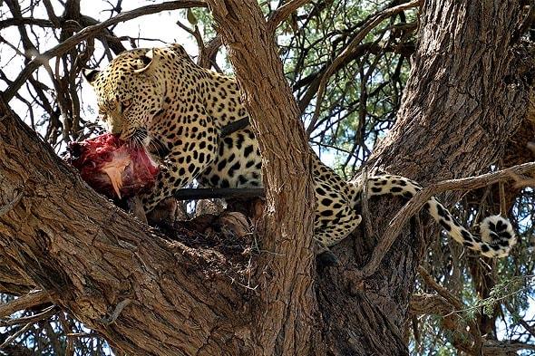 kеопард пятнистое чудо природы впивается в добычи