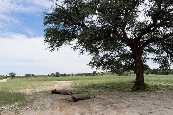 на огромном дереве верблюжьей акации установили гелиограф