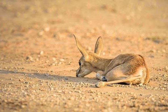 детеныш антилопы называется теленок