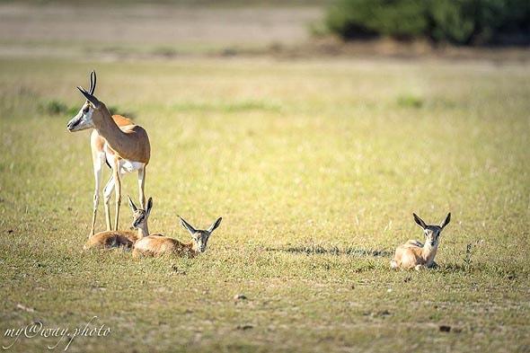 три детеныша у одной антилопы