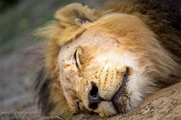 его черногривое величество лев калахари