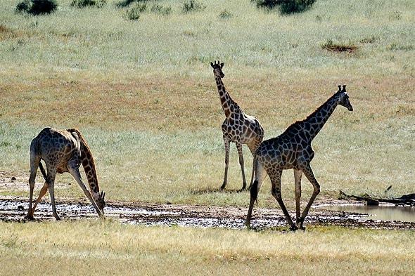 фотогеничные жирафы парка кгалагади
