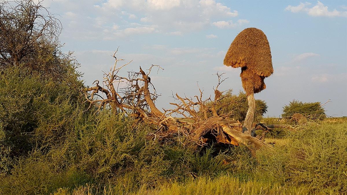 гигантское гнездо общественных ткачиков