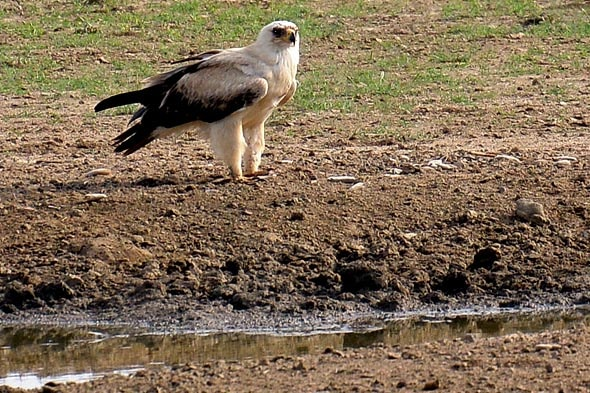 орел горделивая осанка и мощный загнутый клюв