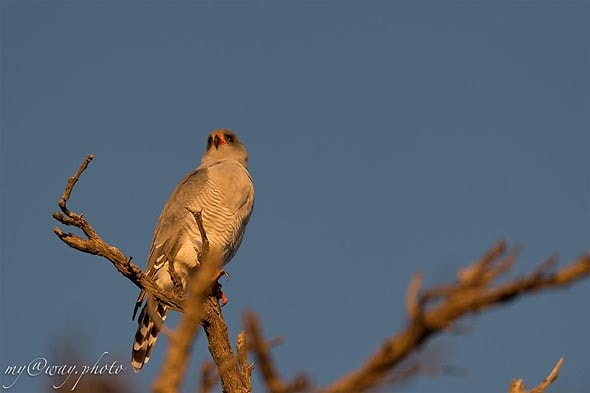 хищная птица парка кгалагади